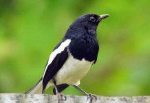 Tiếng chim chich choe